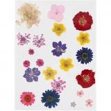 Gepresste, getrocknete Blumen, Sortierte Farben, 1 Pck.