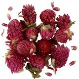 Trockenblumen, Flieder, Rotes Kleeblatt, L: 1,5-2,5 cm, D: 1 - 1,5 cm, 1 Pck.