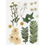 Gepresste Blüten und Blätter, Naturweiß, 19 sort./ 1 Pck.